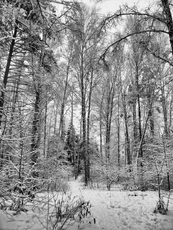Черно-белые фотографии леса зимой несут только положительные эмоции